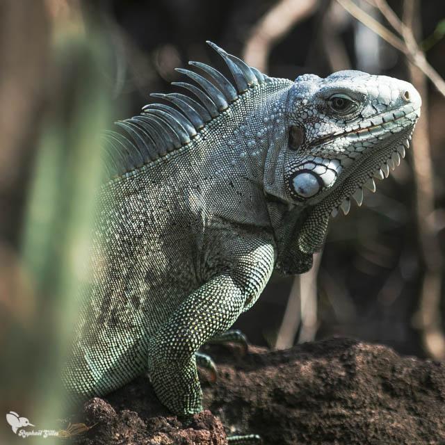 Iguane Commun des Antilles